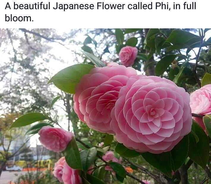 rose japaness pink